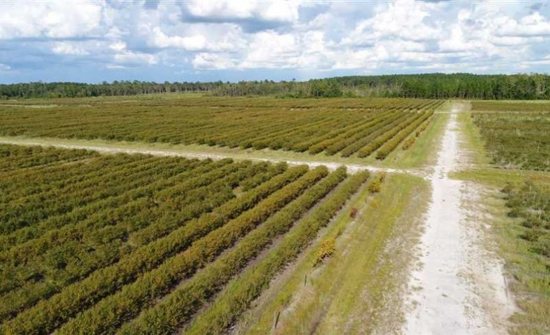 175 Acre Blueberry Farm for Sale in Appling County, GA