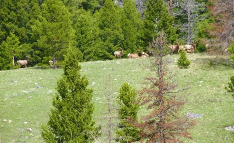 Elk Galore